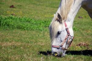 Pferd mit Halfter grast