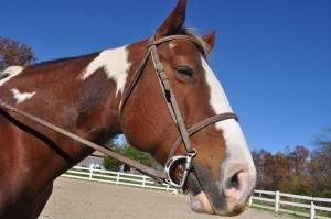 Pferd mit Trense