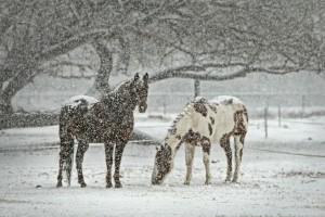 Pferde in Robusthaltung