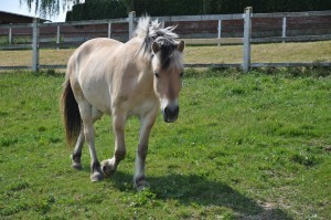 Pferd im Schritt